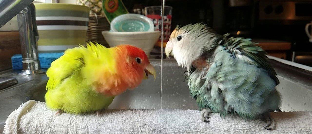 طوطی کوتوله خود را چطور حمام کنیم؟