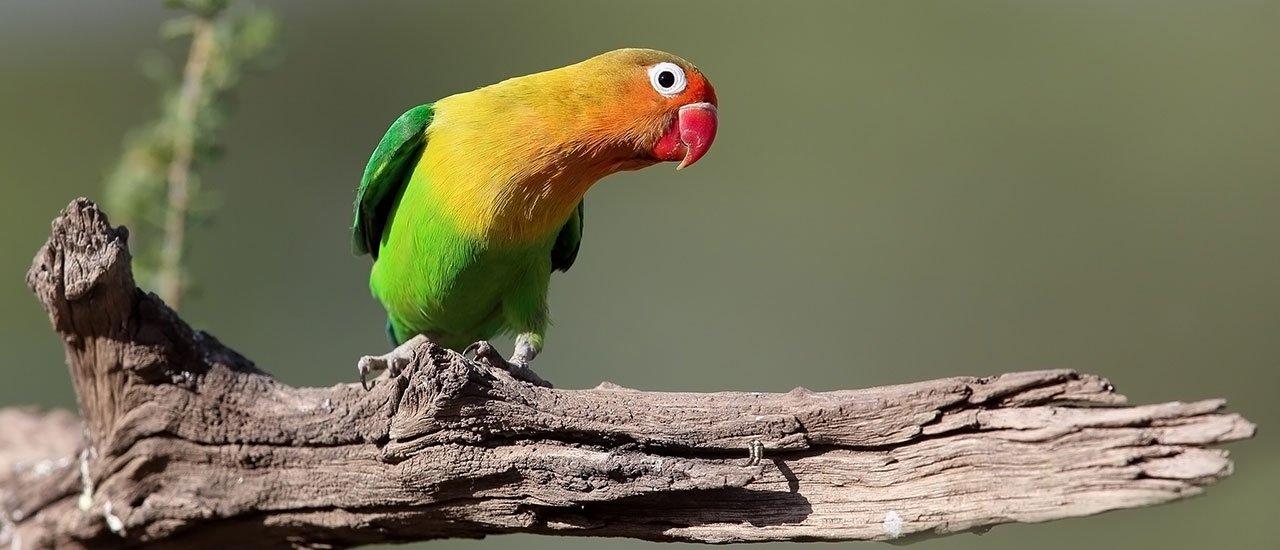 طوطی کوچکی با بدن سبز و سر نارنجی!