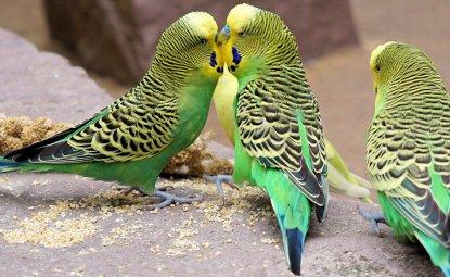 مرغ عشق یکی از اعضا کوچک خانواده طوطیها