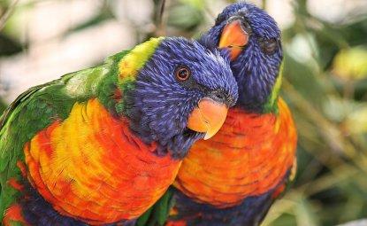 طوطی های لوری و لوریکیت رنگارنگ ترین طوطی ها و بومی استرالیا هستند.