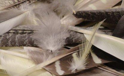 چرا طوطی عروس دچار پر ریزی می شود؟