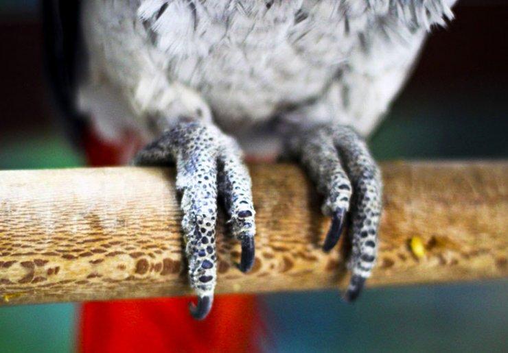 چوب سوهان دار، یک راه خوب برای کوتاه کردن ناخن طوطی