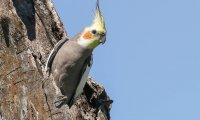 Cockatiel Parrot 2