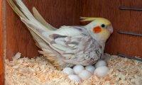 Cockatiel Parrot 3