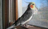 Cockatiel Parrot 6